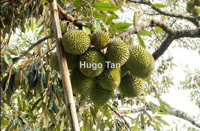 5.4 Acres Pahang Durian Agricultural Land for Sale, Raub