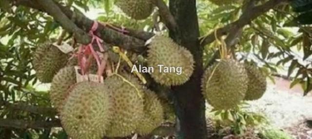 Tras Musang King Orchard Land, Raub, Pahang, Raub